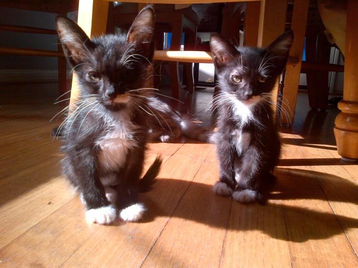 Kitten Twins