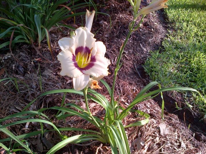 Daylily Purple